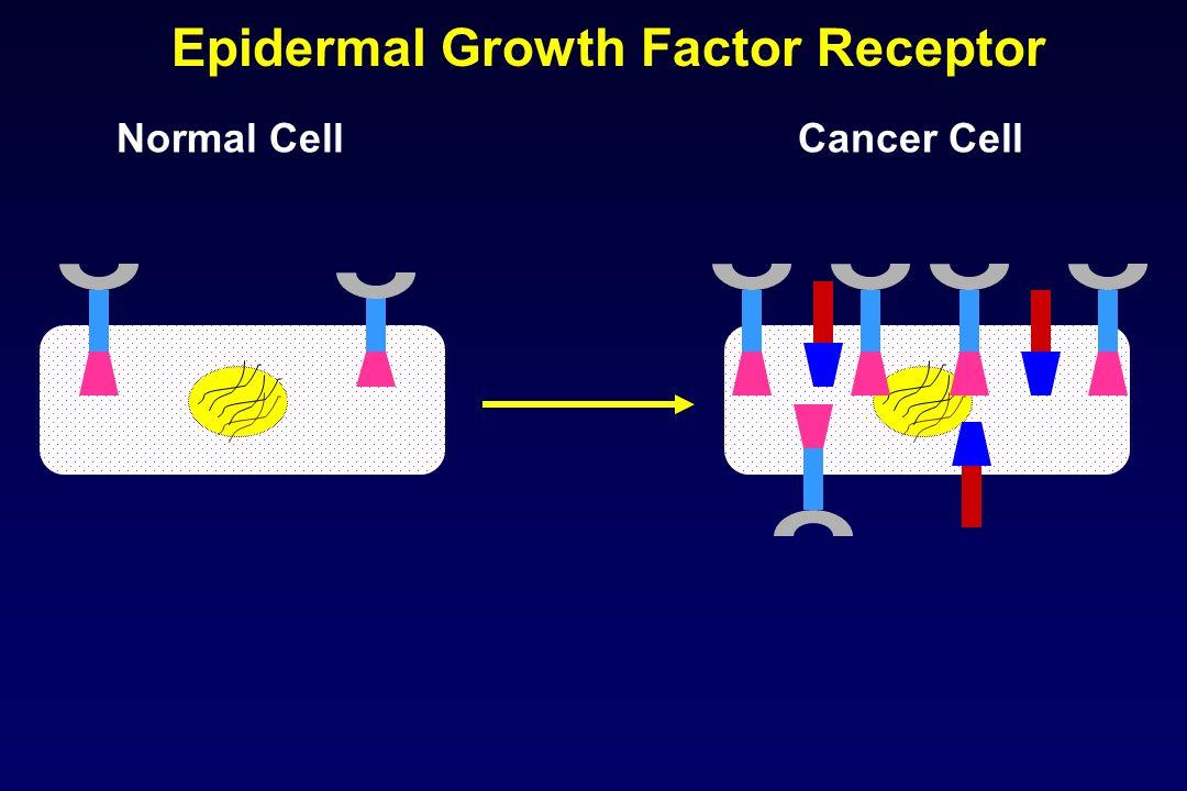 Normal CellCancer Cell Epidermal Growth Factor Receptor