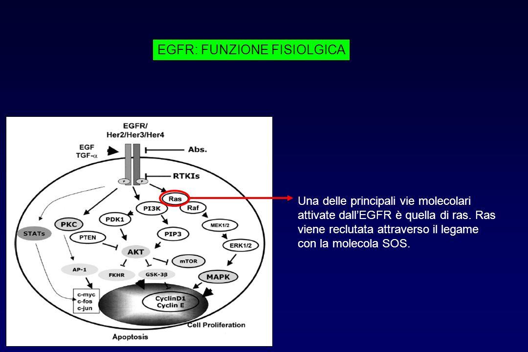 EGFR: FUNZIONE FISIOLGICA Una delle principali vie molecolari attivate dallEGFR è quella di ras. Ras viene reclutata attraverso il legame con la molec
