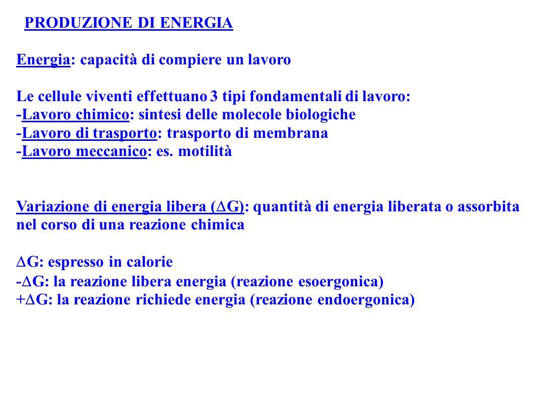 PRODUZIONE DI ENERGIA Energia: capacità di compiere un lavoro Le cellule viventi effettuano 3 tipi fondamentali di lavoro: -Lavoro chimico: sintesi de