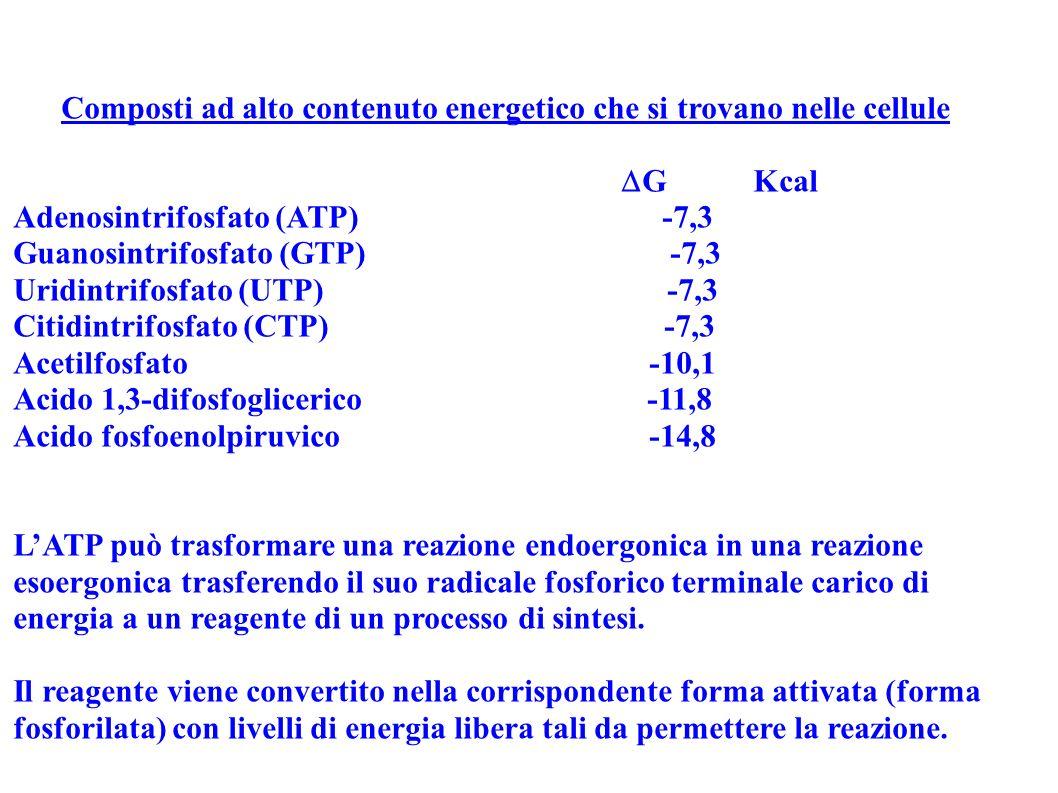 Composti ad alto contenuto energetico che si trovano nelle cellule G Kcal Adenosintrifosfato (ATP) -7,3 Guanosintrifosfato (GTP) -7,3 Uridintrifosfato