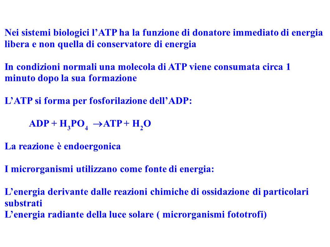 Nei sistemi biologici lATP ha la funzione di donatore immediato di energia libera e non quella di conservatore di energia In condizioni normali una mo