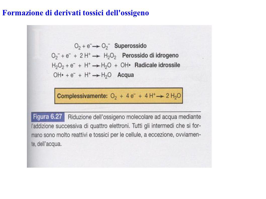 Formazione di derivati tossici dell'ossigeno