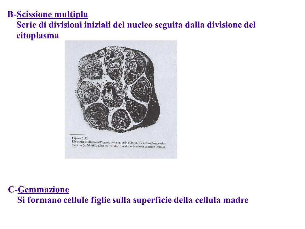B-Scissione multipla Serie di divisioni iniziali del nucleo seguita dalla divisione del citoplasma C-Gemmazione Si formano cellule figlie sulla superf