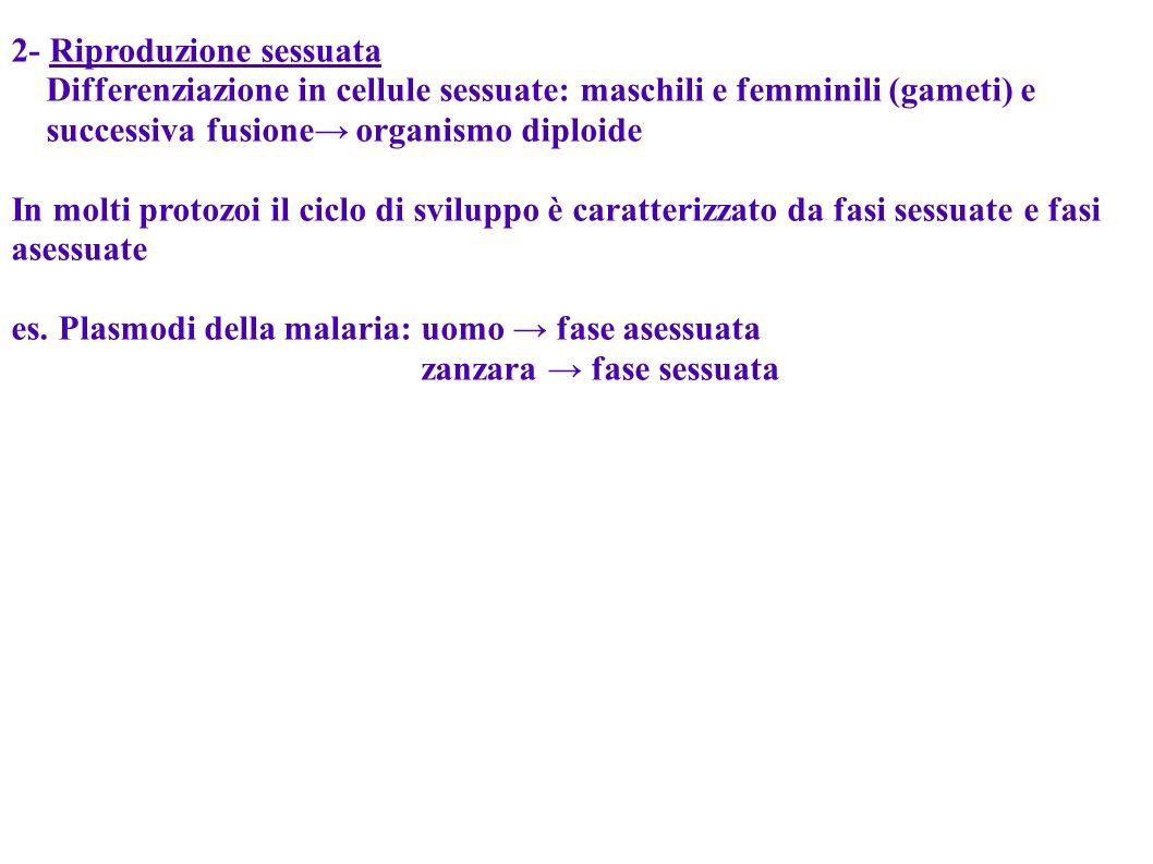 2- Riproduzione sessuata Differenziazione in cellule sessuate: maschili e femminili (gameti) e successiva fusione organismo diploide In molti protozoi