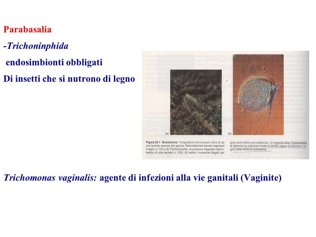 Parabasalia -Trichoninphida endosimbionti obbligati Di insetti che si nutrono di legno Trichomonas vaginalis: agente di infezioni alla vie ganitali (V