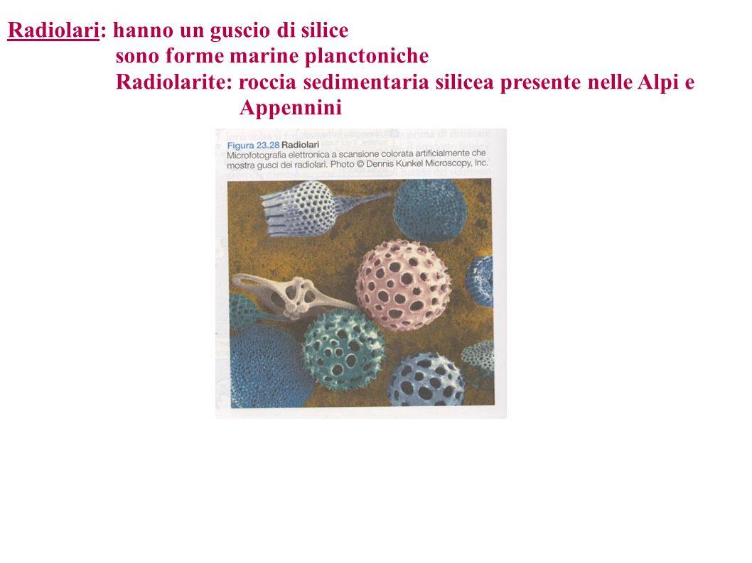 Radiolari: hanno un guscio di silice sono forme marine planctoniche Radiolarite: roccia sedimentaria silicea presente nelle Alpi e Appennini