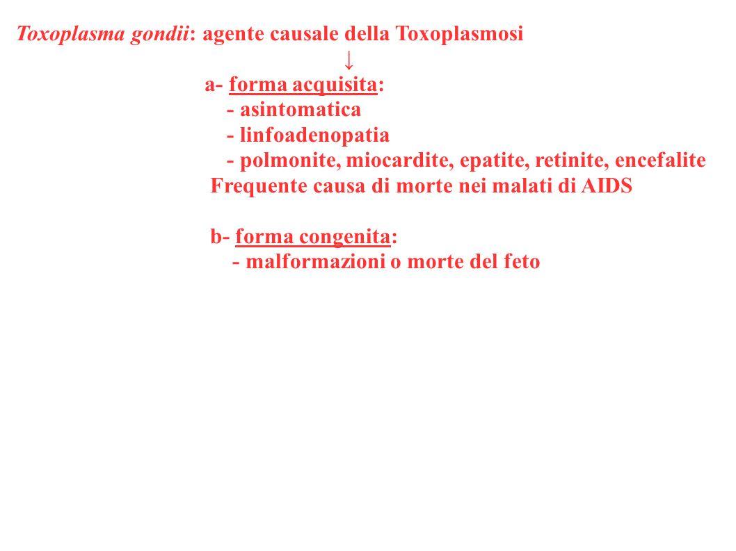 Toxoplasma gondii: agente causale della Toxoplasmosi a- forma acquisita: - asintomatica - linfoadenopatia - polmonite, miocardite, epatite, retinite,