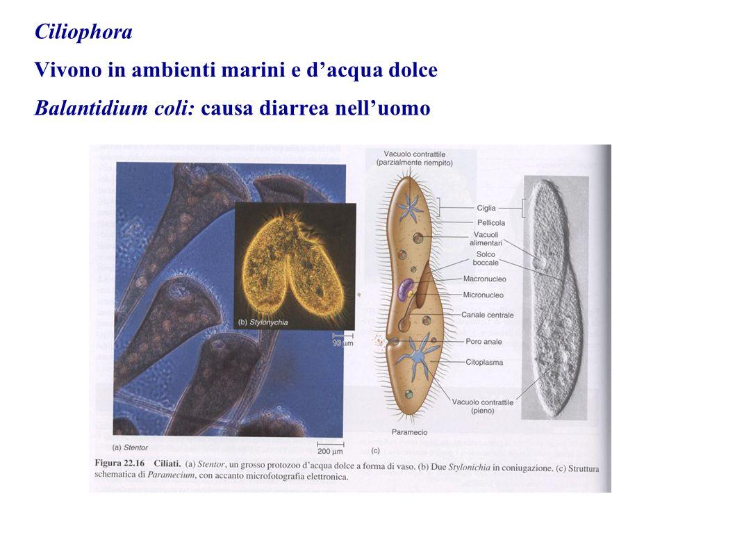 Ciliophora Vivono in ambienti marini e dacqua dolce Balantidium coli: causa diarrea nelluomo