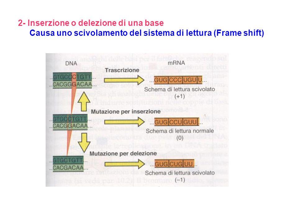 2- Inserzione o delezione di una base Causa uno scivolamento del sistema di lettura (Frame shift)