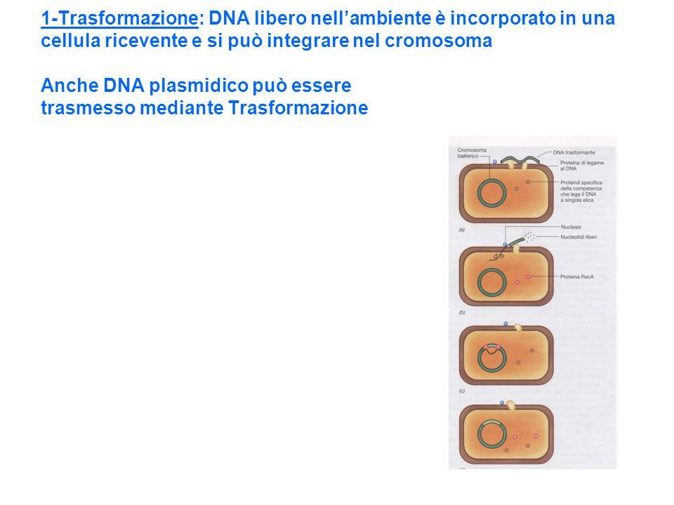1-Trasformazione: DNA libero nellambiente è incorporato in una cellula ricevente e si può integrare nel cromosoma Anche DNA plasmidico può essere tras