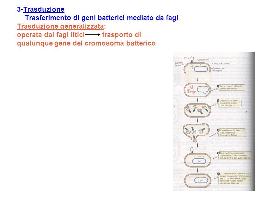 3-Trasduzione Trasferimento di geni batterici mediato da fagi Trasduzione generalizzata: operata dai fagi litici trasporto di qualunque gene del cromo