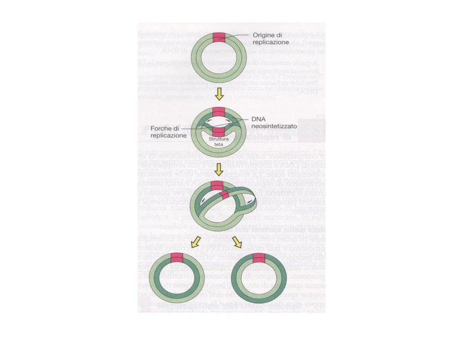 2- Macrolesioni (coinvolgono un certo numero di paia di basi o anche diversi geni) Possono avvenire a) Delezione b) Ripetizione in tandem di un segmento di DNA c) Inversione: rotazione di 180° di un segmento di DNA d) Inserzione: per presenza nel cromosoma di Elementi trasponibili Sequenze di inserzione Trasposoni La trasposizione è di solito un evento raro che avviene alla frequenza di 10- 5, 10- 7 per generazione