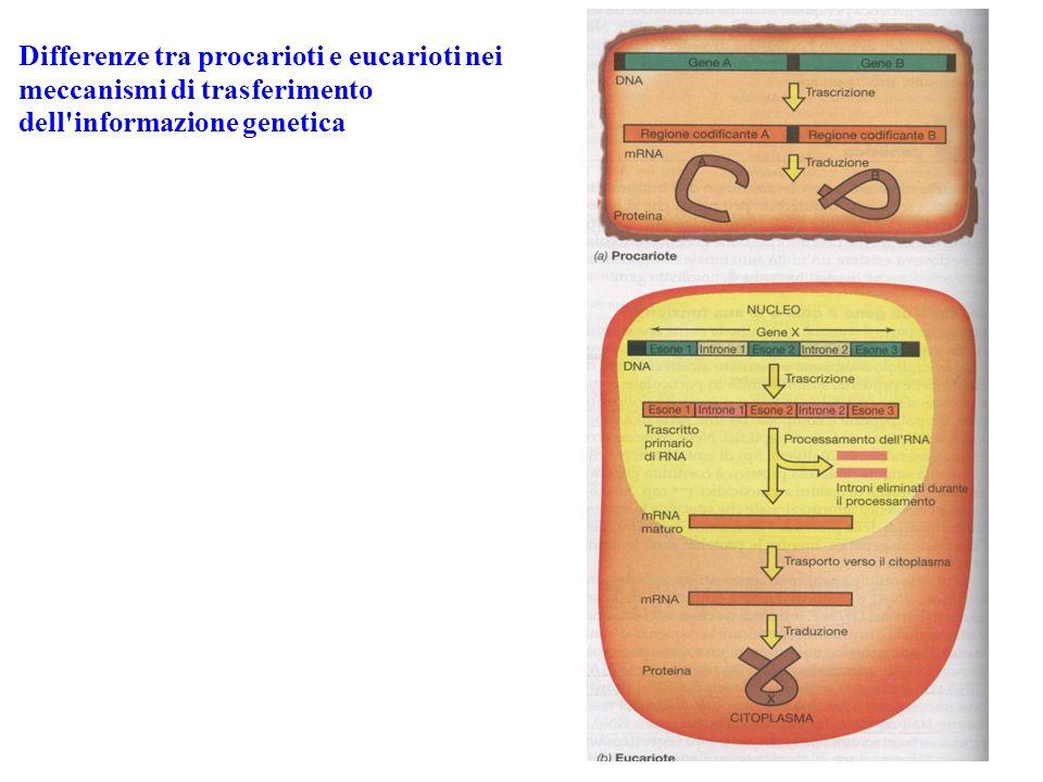 3- Traduzione Linformazione genetica contenuta nel DNA si traduce nella sequenza aminoacidica di una catena polipeptidica La sequenza delle basi nucleotidiche determina la sequenza degli aminoacidi in una proteina Codon: tripletta di basi azotate che codifica per uno specifico aminoacido