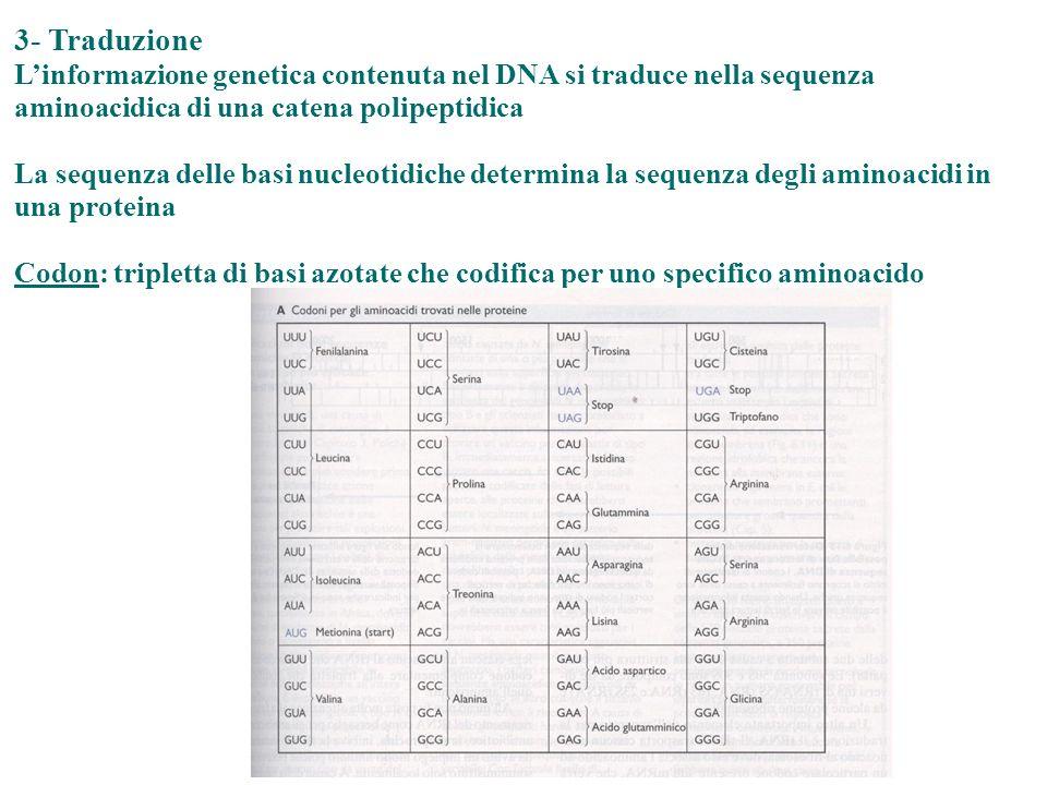 3- Traduzione Linformazione genetica contenuta nel DNA si traduce nella sequenza aminoacidica di una catena polipeptidica La sequenza delle basi nucle