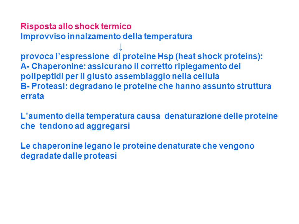 Risposta allo shock termico Improvviso innalzamento della temperatura provoca lespressione di proteine Hsp (heat shock proteins): A- Chaperonine: assi