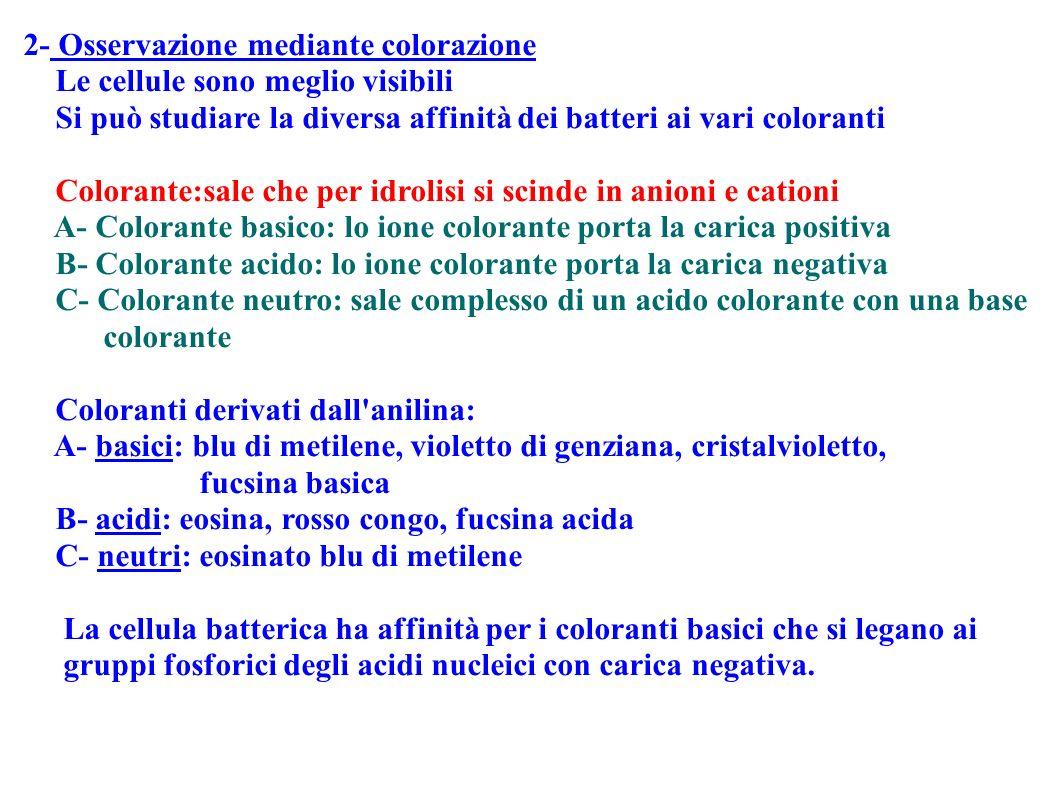 2- Osservazione mediante colorazione Le cellule sono meglio visibili Si può studiare la diversa affinità dei batteri ai vari coloranti Colorante:sale
