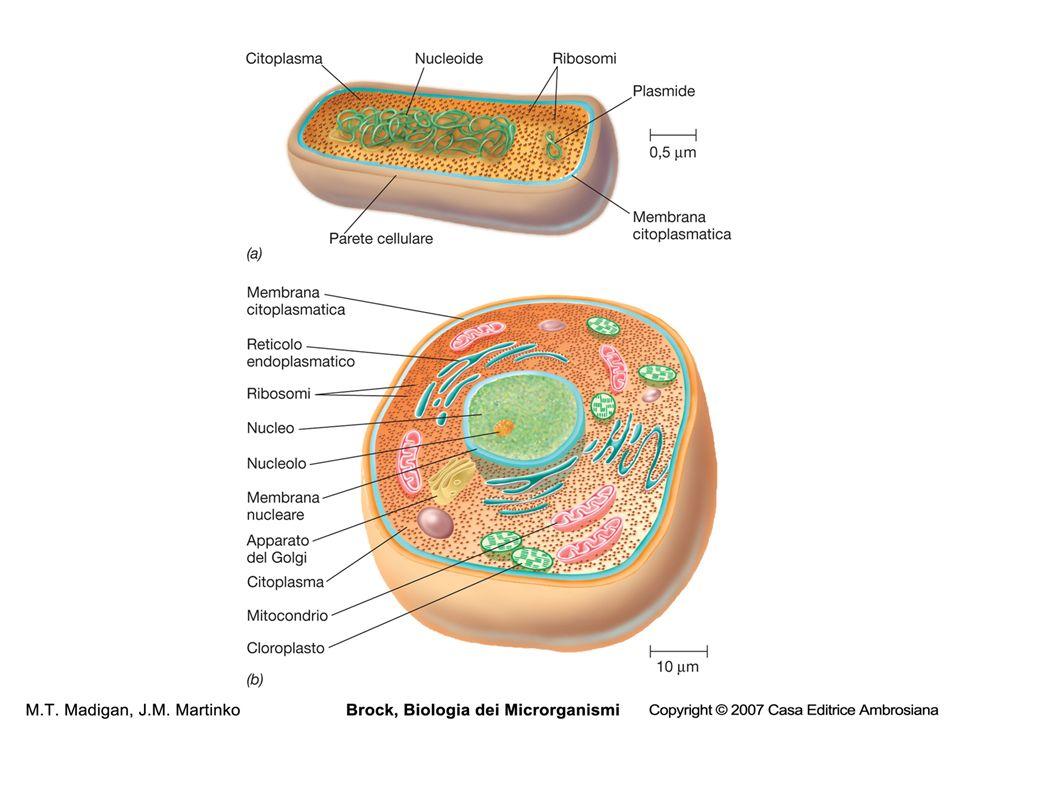 Numero e biomassa dei procarioti nella biosfera Habitat Numero di procarioti Pg (1Pg=10 15 g) x 10 28 C nei procarioti Acque 12 2,2 Sedimenti oceanici 355 303 Suolo 26 26 Sottosuolo 25-250 22-215 Totale 415-640 335-546