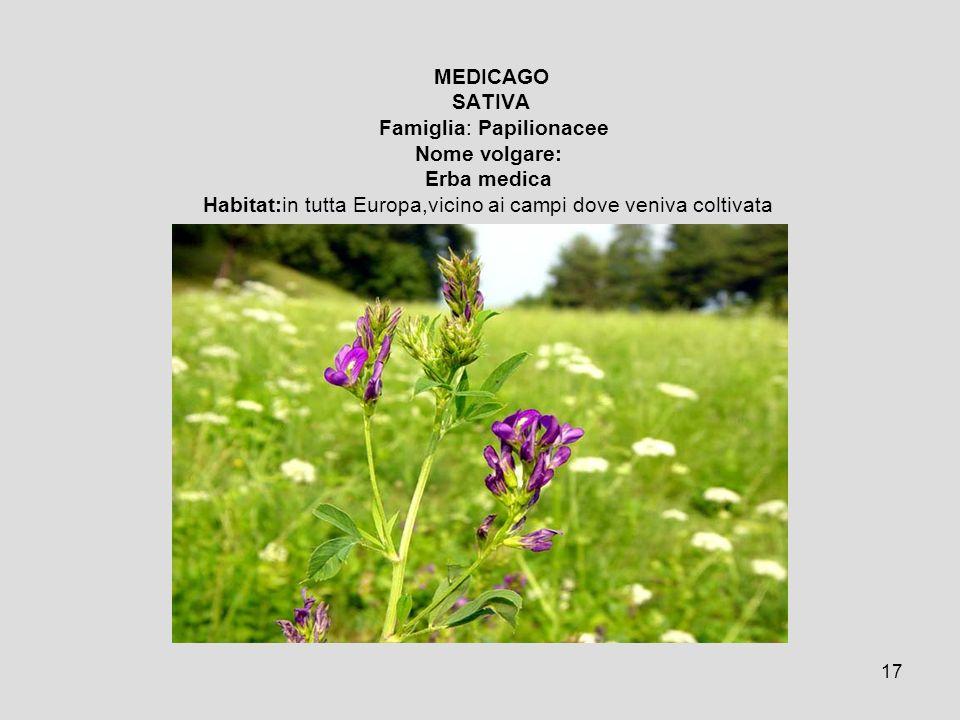 17 MEDICAGO SATIVA Famiglia: Papilionacee Nome volgare: Erba medica Habitat:in tutta Europa,vicino ai campi dove veniva coltivata