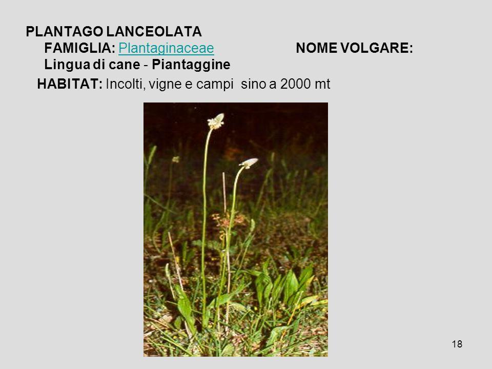18 PLANTAGO LANCEOLATA FAMIGLIA: Plantaginaceae NOME VOLGARE: Lingua di cane - PiantagginePlantaginaceae HABITAT: Incolti, vigne e campi sino a 2000 m