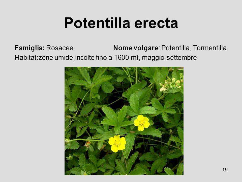 19 Potentilla erecta Famiglia: Rosacee Nome volgare: Potentilla, Tormentilla Habitat:zone umide,incolte fino a 1600 mt, maggio-settembre