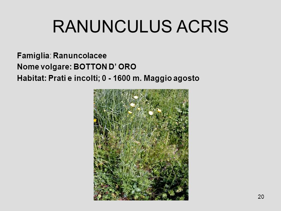 20 RANUNCULUS ACRIS Famiglia: Ranuncolacee Nome volgare: BOTTON D ORO Habitat: Prati e incolti; 0 - 1600 m. Maggio agosto