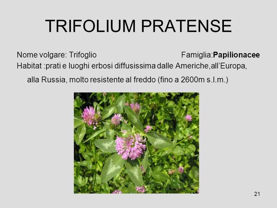 21 TRIFOLIUM PRATENSE Nome volgare: Trifoglio Famiglia:Papilionacee Habitat :prati e luoghi erbosi diffusissima dalle Americhe,allEuropa, alla Russia,