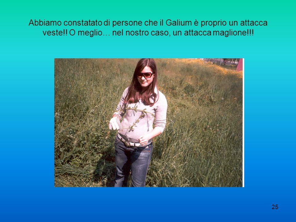 25 Abbiamo constatato di persone che il Galium è proprio un attacca veste!! O meglio… nel nostro caso, un attacca maglione!!!