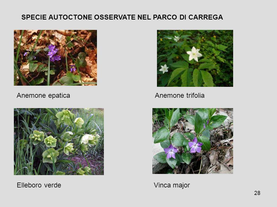 28 Anemone epatica Anemone trifolia Elleboro verde Vinca major SPECIE AUTOCTONE OSSERVATE NEL PARCO DI CARREGA