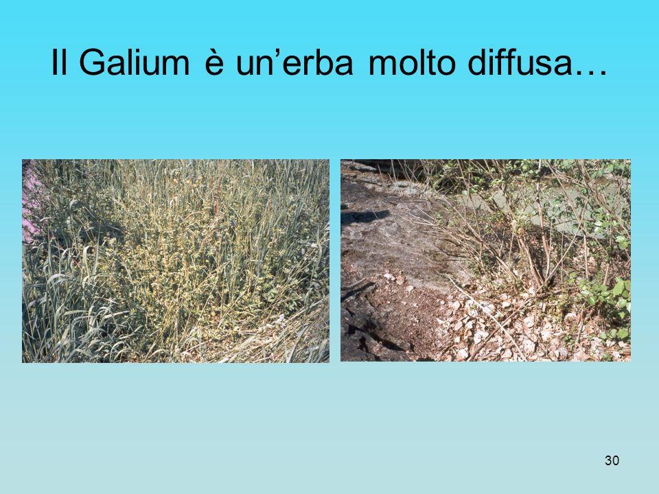30 Il Galium è unerba molto diffusa…