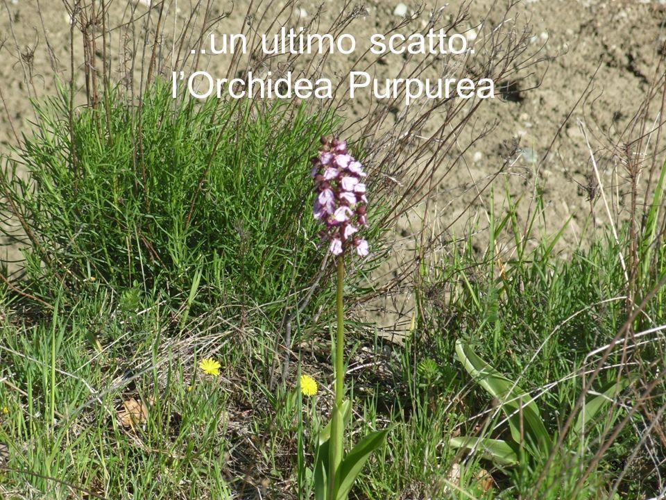 31..un ultimo scatto: lOrchidea Purpurea