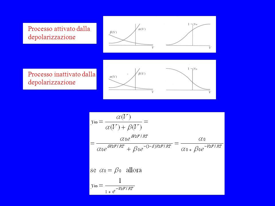 Processo attivato dalla depolarizzazione Processo inattivato dalla depolarizzazione