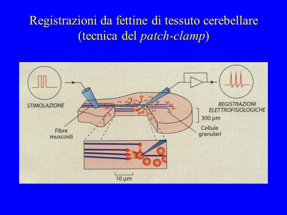 Dinamica del Ca 2+ intracellulare esistono conduttanze Ca-dipendenti, ed è quindi necessaria una rappresentazione esplicita della dinamica del Ca 2+ Ca 2+ Pompe, tamponi ecc.