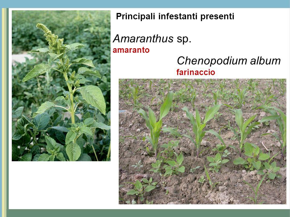Amaranthus sp. amaranto Chenopodium album farinaccio Principali infestanti presenti