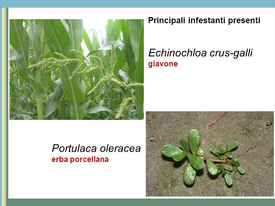 Echinochloa crus-galli giavone Portulaca oleracea erba porcellana Principali infestanti presenti