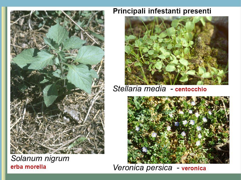 Solanum nigrum erba morella Stellaria media - centocchio Veronica persica - veronica Principali infestanti presenti