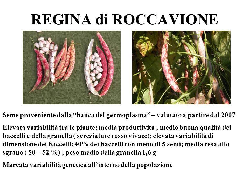 REGINA di ROCCAVIONE Seme proveniente dalla banca del germoplasma – valutato a partire dal 2007 Elevata variabilità tra le piante; media produttività