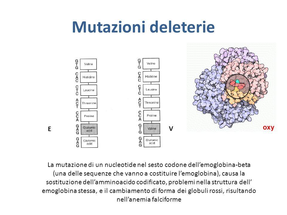 Mutazioni deleterie La mutazione di un nucleotide nel sesto codone dellemoglobina-beta (una delle sequenze che vanno a costituire lemoglobina), causa la sostituzione dellamminoacido codificato, problemi nella struttura dell emoglobina stessa, e il cambiamento di forma dei globuli rossi, risultando nellanemia falciforme E V
