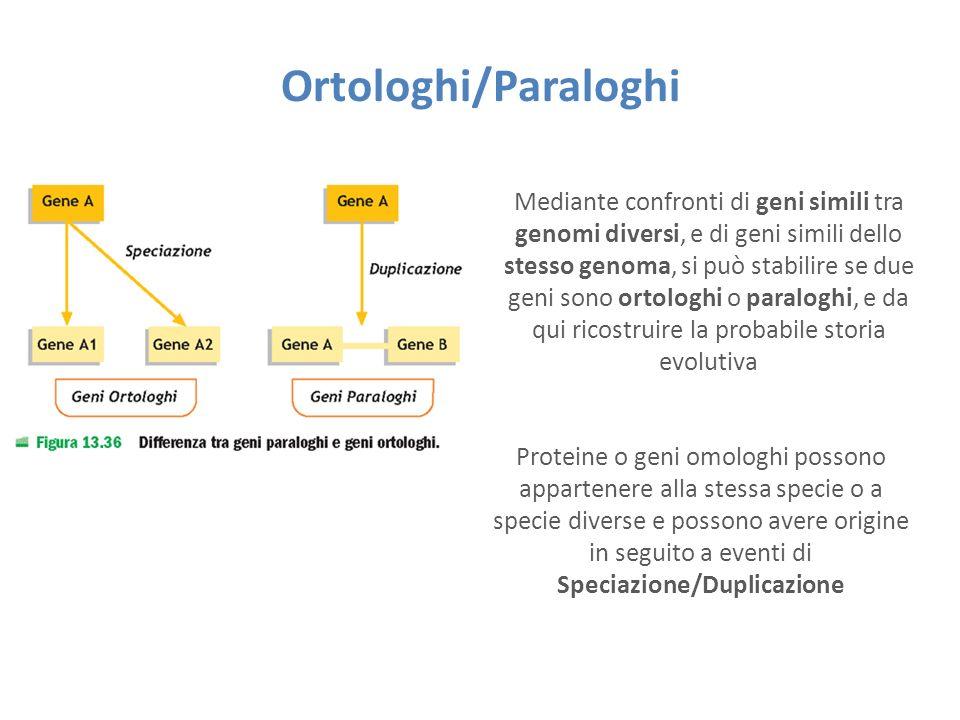 Ortologhi/Paraloghi Mediante confronti di geni simili tra genomi diversi, e di geni simili dello stesso genoma, si può stabilire se due geni sono ortologhi o paraloghi, e da qui ricostruire la probabile storia evolutiva Proteine o geni omologhi possono appartenere alla stessa specie o a specie diverse e possono avere origine in seguito a eventi di Speciazione/Duplicazione