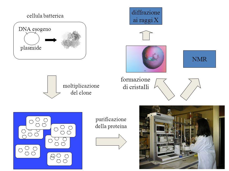 cellula batterica plasmide DNA esogeno moltiplicazione del clone formazione di cristalli purificazione della proteina diffrazione ai raggi X NMR