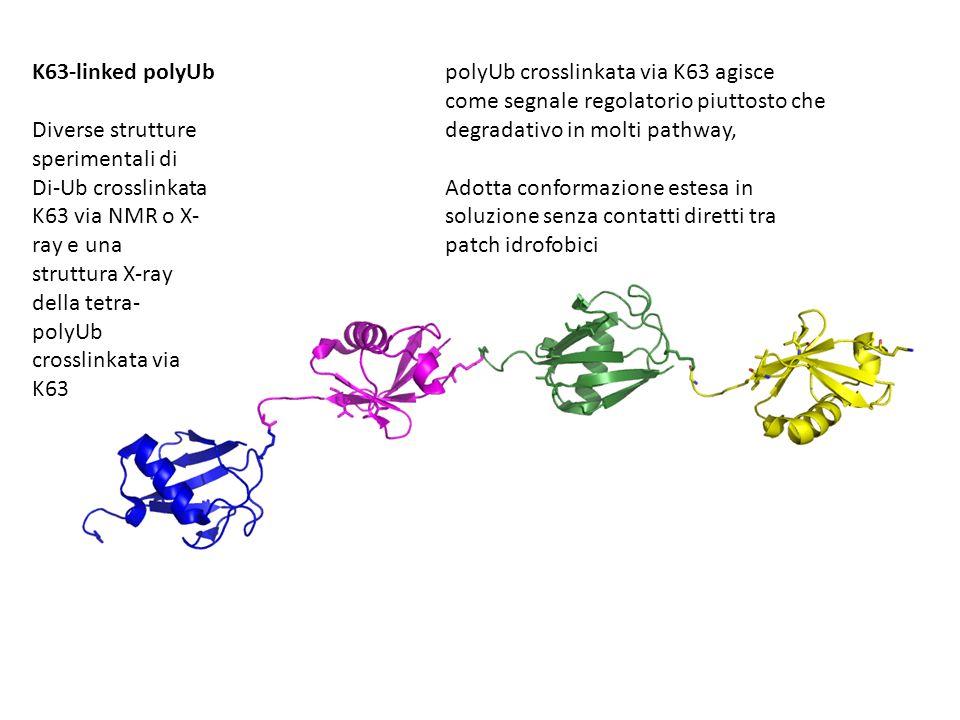 K63-linked polyUbpolyUb crosslinkata via K63 agisce come segnale regolatorio piuttosto che degradativo in molti pathway, Adotta conformazione estesa in soluzione senza contatti diretti tra patch idrofobici Diverse strutture sperimentali di Di-Ub crosslinkata K63 via NMR o X- ray e una struttura X-ray della tetra- polyUb crosslinkata via K63