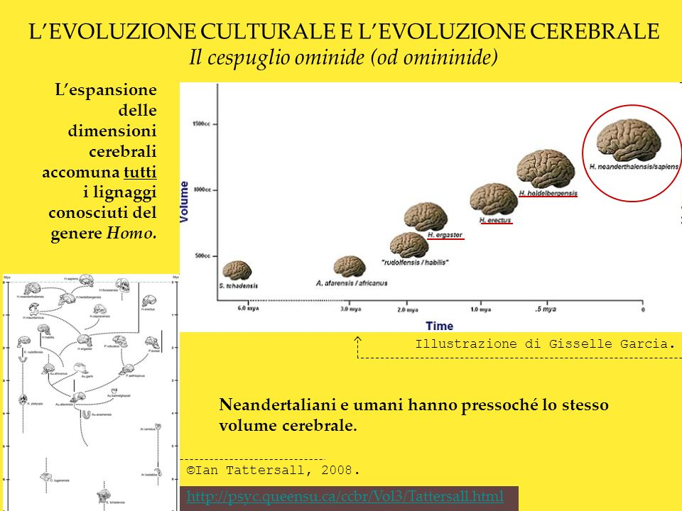 LEVOLUZIONE CULTURALE E LEVOLUZIONE CEREBRALE Dati A partire da 2 milioni di anni fa lespansione del cervello nel genere Homo diverge da quella delle scimmie antropomorfe, più o meno in corrispondenza di un repentino aumento dellampiezza delle oscillazioni glaciali.