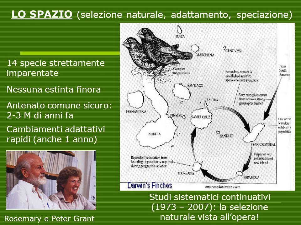 14 specie strettamente imparentate Antenato comune sicuro: 2-3 M di anni fa LO SPAZIO (selezione naturale, adattamento, speciazione) Nessuna estinta f