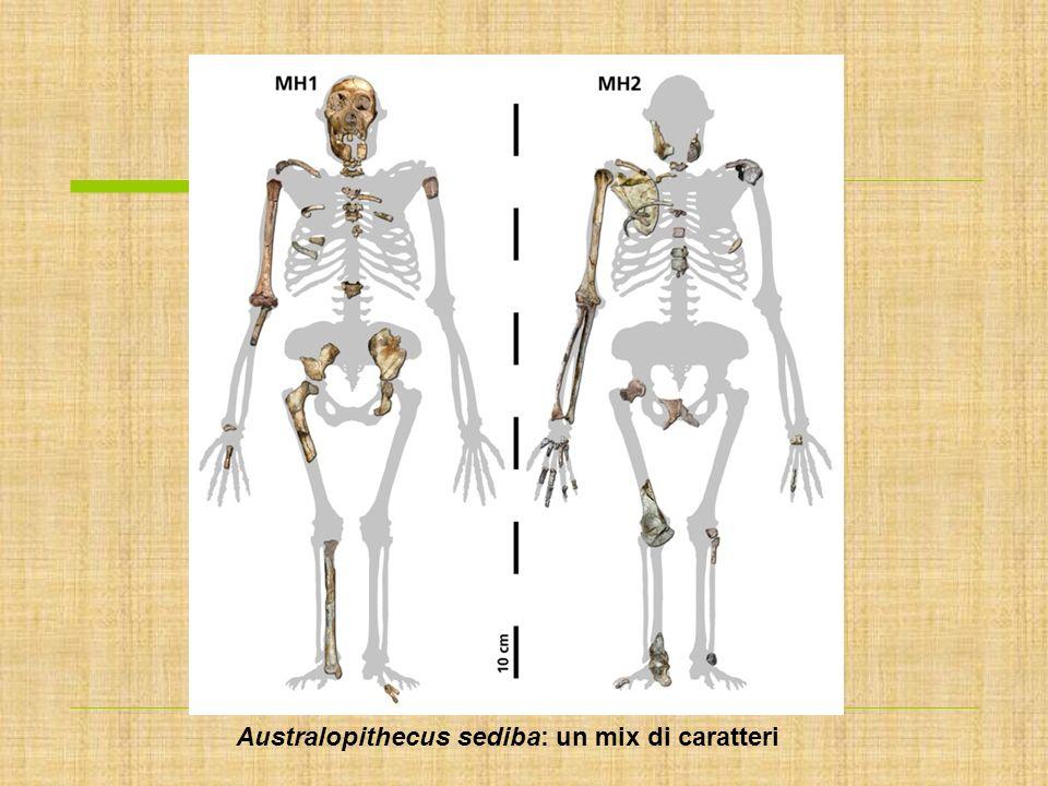 Australopithecus sediba: un mix di caratteri