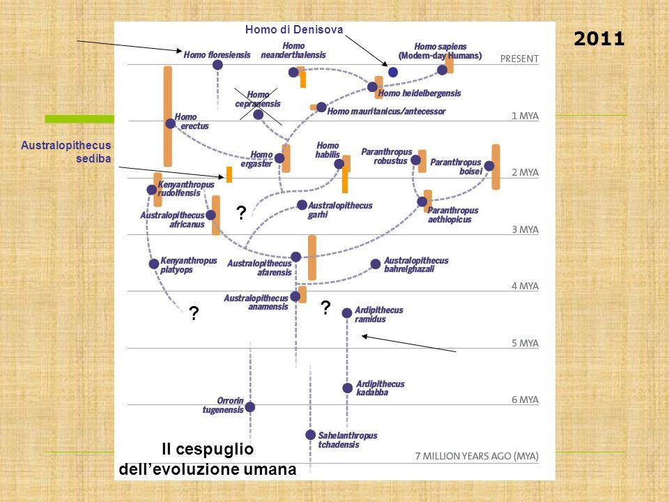 Australopithecus sediba Homo di Denisova ? ? ? Il cespuglio dellevoluzione umana 2011
