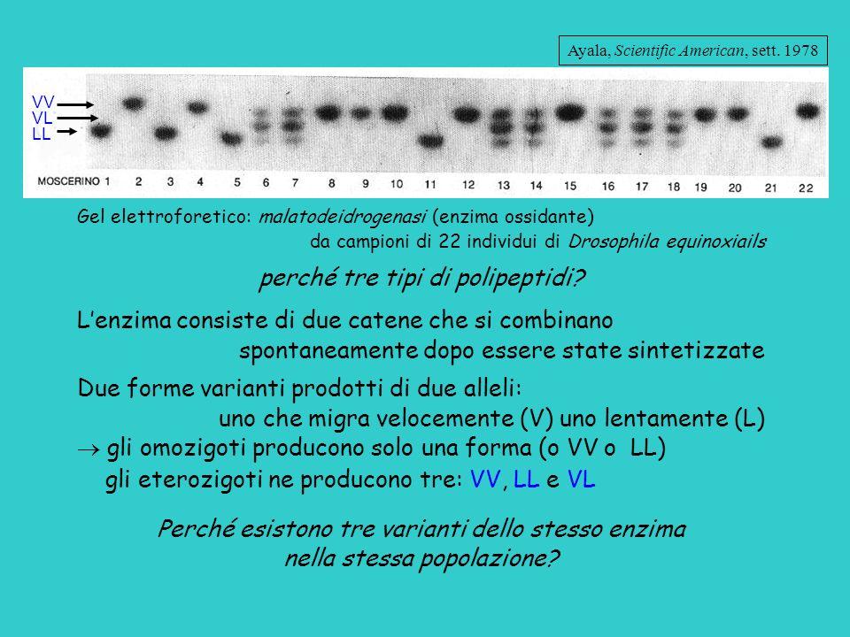 VV VL LL Gel elettroforetico: malatodeidrogenasi (enzima ossidante) da campioni di 22 individui di Drosophila equinoxiails perché tre tipi di polipept