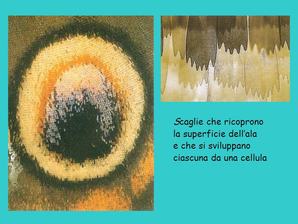 Scaglie che ricoprono la superficie dellala e che si sviluppano ciascuna da una cellula