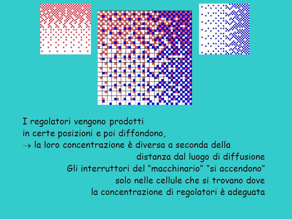 I regolatori vengono prodotti in certe posizioni e poi diffondono, la loro concentrazione è diversa a seconda della distanza dal luogo di diffusione G
