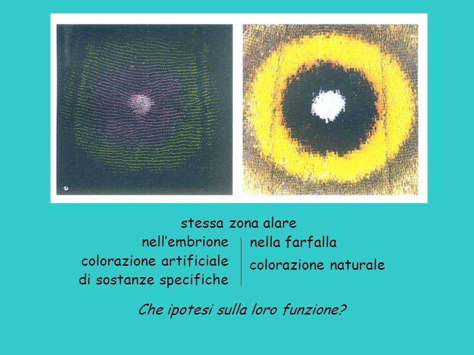 nellembrione colorazione artificiale di sostanze specifiche stessa zona alare nella farfalla colorazione naturale Che ipotesi sulla loro funzione?