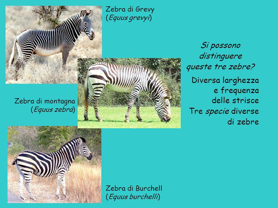 Zebra di Grevy (Equus grevyi) Zebra di montagna (Equus zebra) Zebra di Burchell (Equus burchelli) Si possono distinguere queste tre zebre? Diversa lar