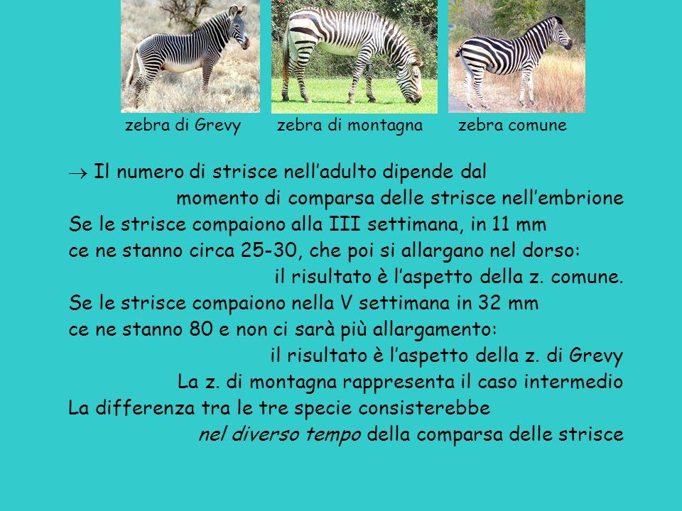 zebra di Grevy zebra di montagna zebra comune Il numero di strisce nelladulto dipende dal momento di comparsa delle strisce nellembrione Se le strisce